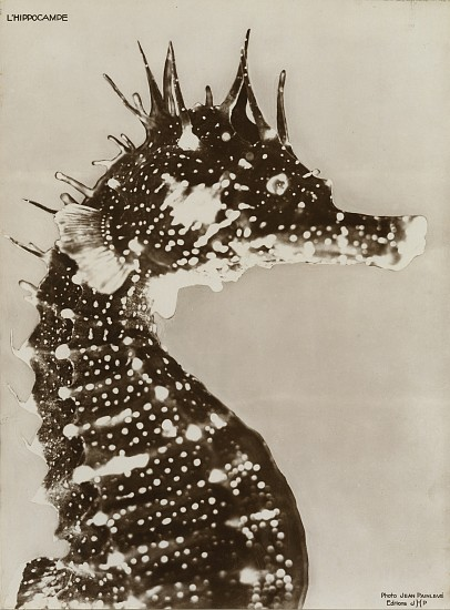 Jean Painlevé ,   L' Hippocampe  ,  1931     Vintage gelatin silver print ,  11 x 8 1/8 in. (27.9 x 20.6 cm)     [The Seahorse] see More Info below for a link to an excerpt of the film L' Hippocampe     8057     $7,000